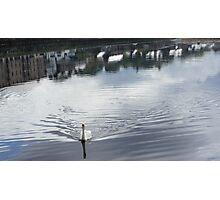 Swan, at Donegal, Ramelton IRELAND Photographic Print