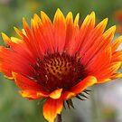 Blanket Flower  by Zack Parton