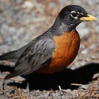 American Robin by Ron Hannah