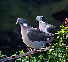 Wood Pigeons  by Susie Peek