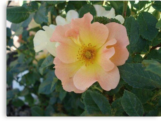 ONE PRETTY MONTANA ROSE by May Lattanzio