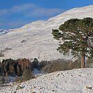 Scots Pine in the Snow by David Alexander Elder