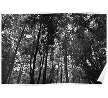 Woodland Canopy 02 BW Poster
