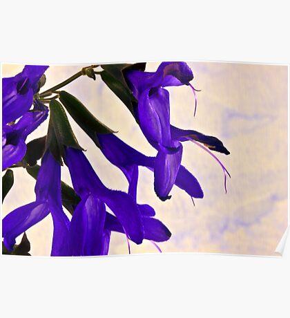 Blue Angel Sage Macro  Poster