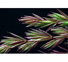 Grass Seed Macro Photographic Print
