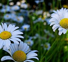 Country Daisies   by Tori Snow