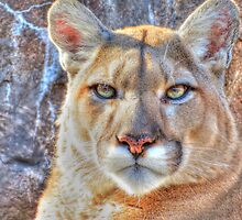 Cougar by shutterbug2010
