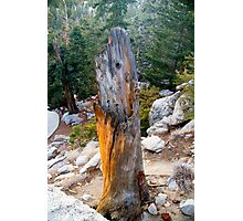 Ancient Stump - Mount San Jucinto  Photographic Print