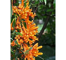 Orange Trumpet Creeper Photographic Print