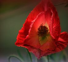 A Poppy Blows by naturelover