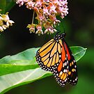 Butterfly On Milkweed by Sharon Woerner