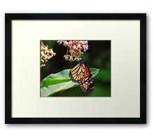 Butterfly On Milkweed Framed Print