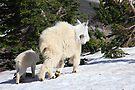 Mountain goat family by zumi