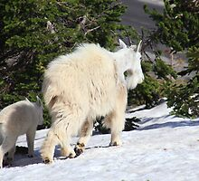 Mountain goat family by zumi