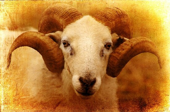 A gentle and curious Ram by Clare Colins