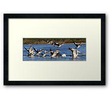 pelican flock + 1 Framed Print