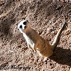 Meerkat  by KBG-Photography