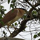 Nankeen (Rufous) Night Heron by triciaoshea