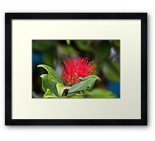 Australian Bottle Brush - Bundaberg - Australia Framed Print