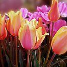Tulip Variations by TonyCrehan