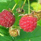 Raspberries in the garden by Maria1606