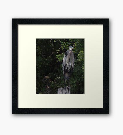 Great Blue Heron from Okauchee Wisconsin Framed Print