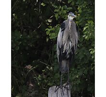 Great Blue Heron from Okauchee Wisconsin Photographic Print