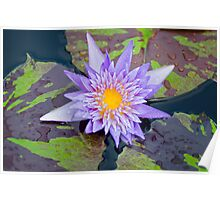 New Orleans Water Lily Poster