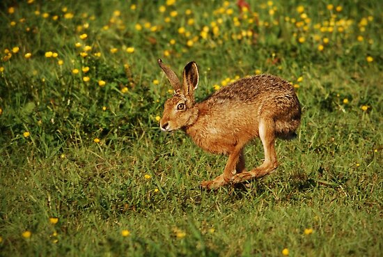 Running Hare by Nigel Tinlin