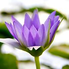 Purple water lily by LadyFi