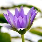 Purple water lily by LadyFi