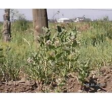 Milk Weed Plant Growing   Photographic Print