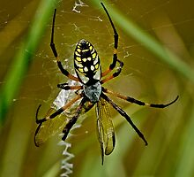 Argiope Aurantia Spider Processing a Dragon Fly by Joe Jennelle
