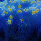 Narcisos (Daffodils) by Xoanxo