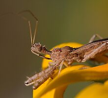 Spined Assassin Bug by Daniel Cadieux