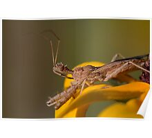 Spined Assassin Bug Poster