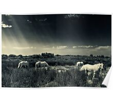 Horses of Camargue Poster
