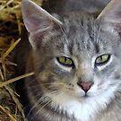 Barn Cat by PatChristensen