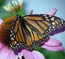 Monarch by Janice Drew