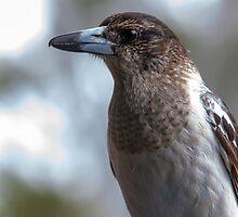 Grey Butcher Bird by Peter Doré