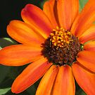 Orange In My Garden by lorilee