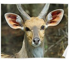 A young male reedbuck Poster