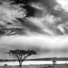 Acacia IR by Peter Wickham
