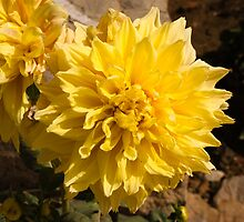 A large beautiful yellow Dahlia by ashishagarwal74