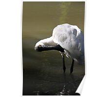 australia birds - Royal Spoonbill Poster