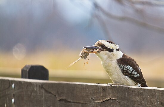 australia bieds - Laughing Kookaburra by houenying