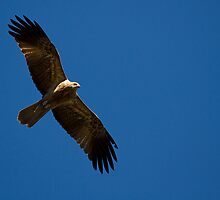 Whistling Kite (gb) by houenying