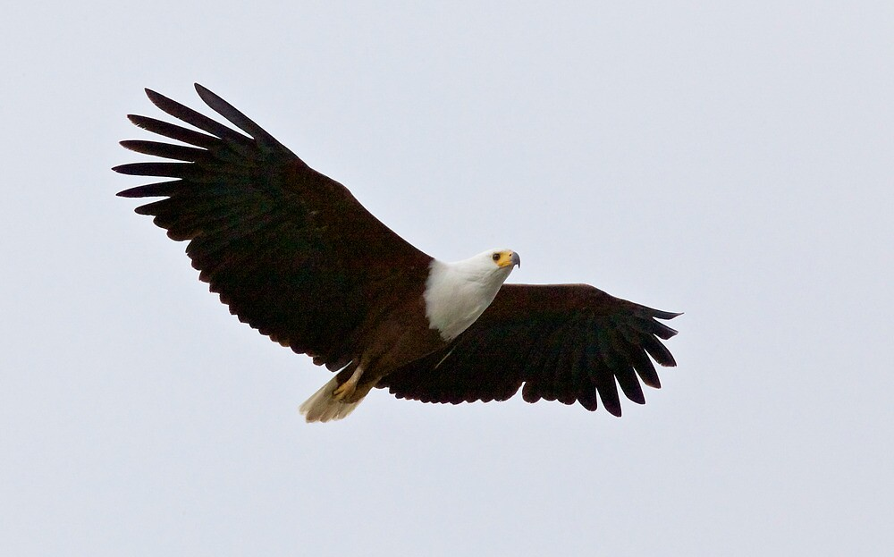 African Fish Eagle by Keith Davey