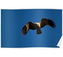 australia birds - Whistling Kite (nt) Poster
