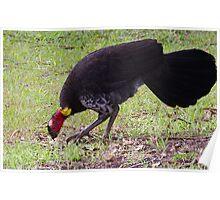 Australian Brush-turkey (jc) Poster